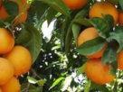 Cia in Calabria clementine gratis in piazza no a regole commerciali stabilite da Gdo