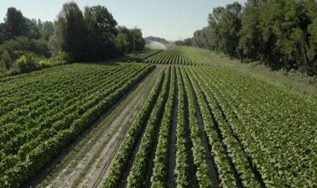 Tabacco accordo Philip Morris Mipaaf su filiera agricola Italia