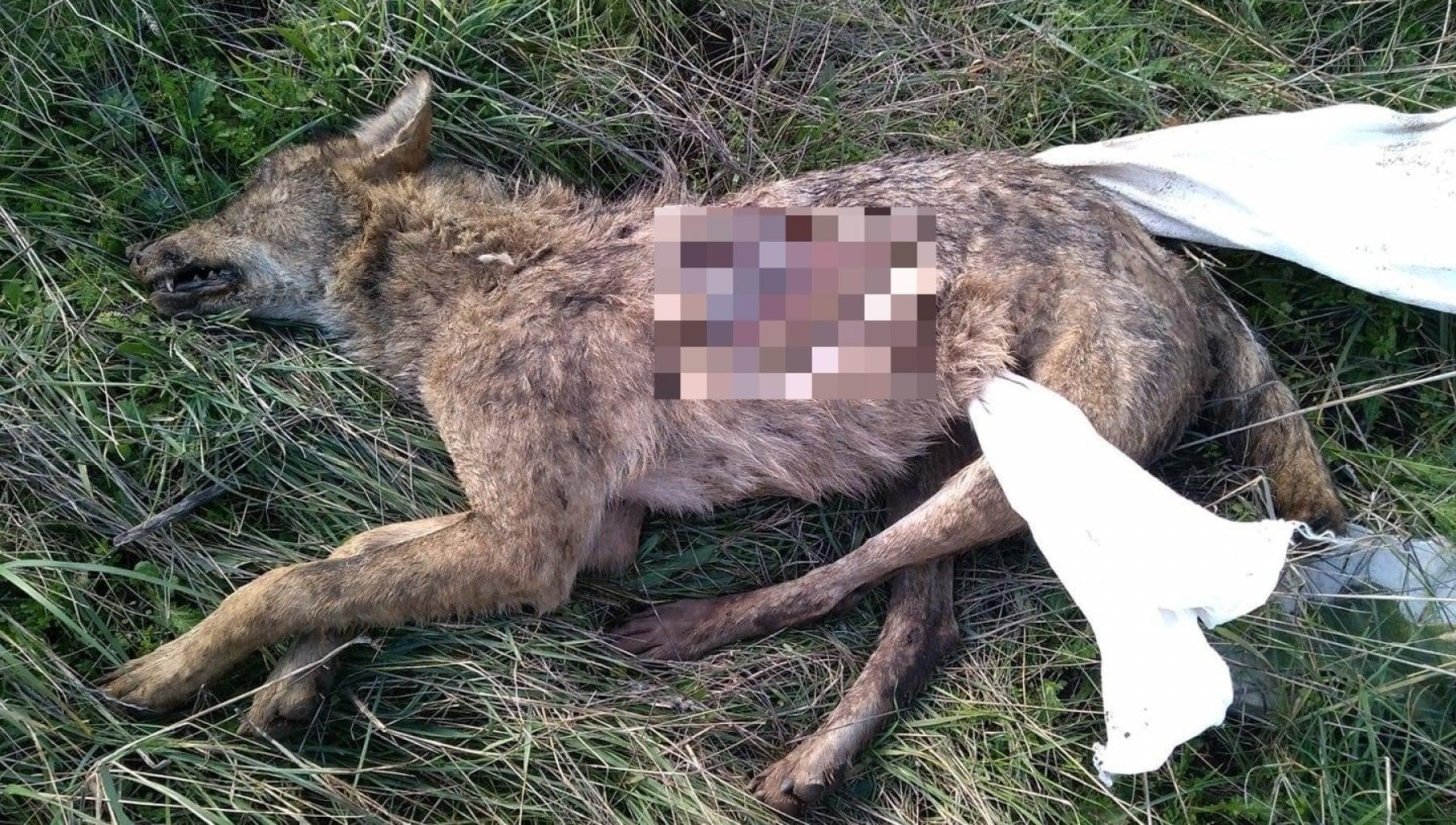 Lupo inseguito e ucciso nel parco naturale Uno scempio. Era appena stato avviato censimento