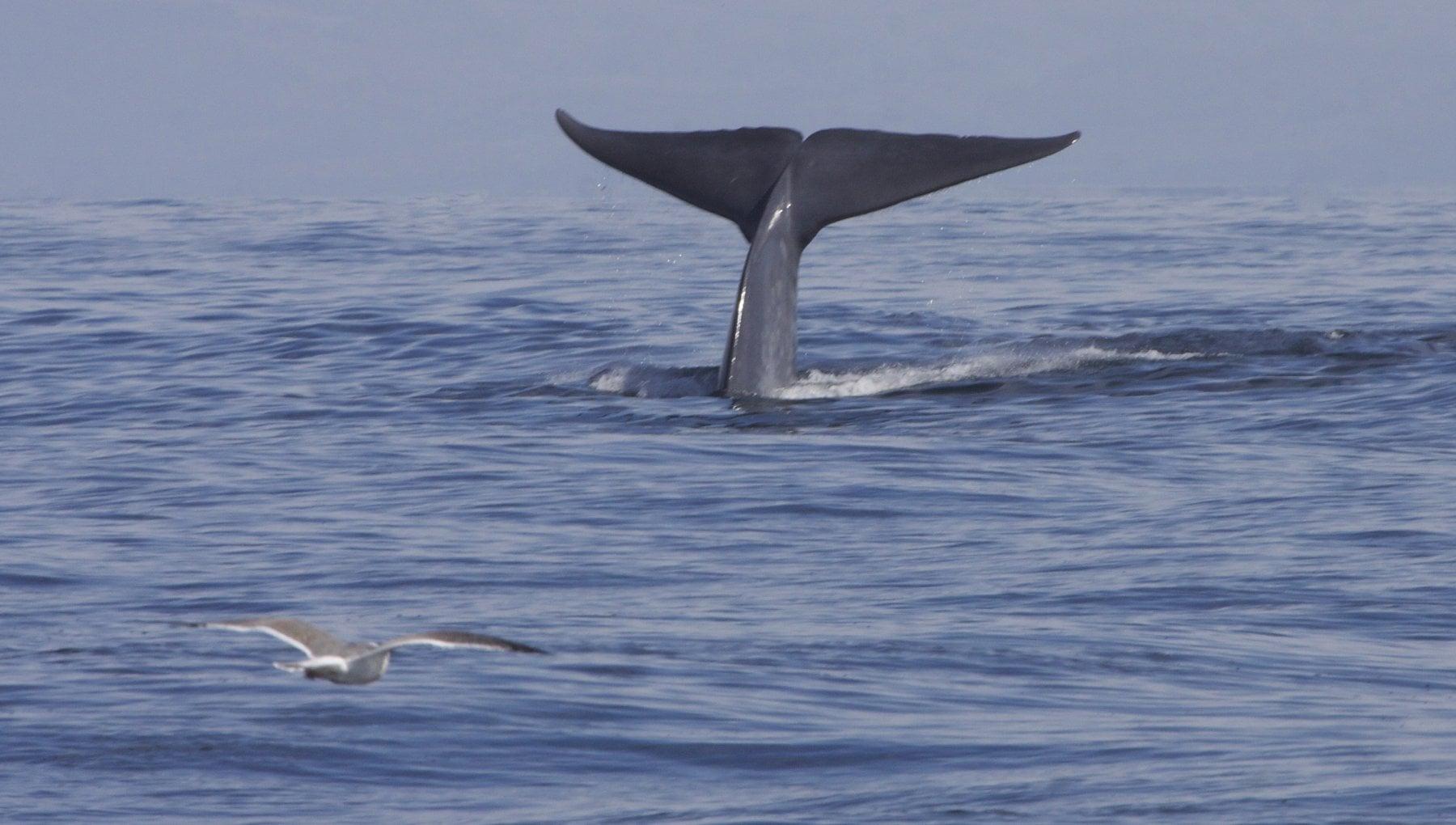 Oceano Indiano un canto unico aiuta a identificare un branco di balenottere azzurre finora sconosciute