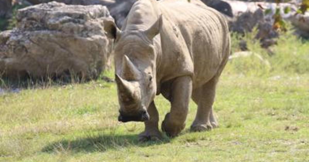 Animali 2 embrioni di rinoceronte bianco creati a Cremona contro estinzione