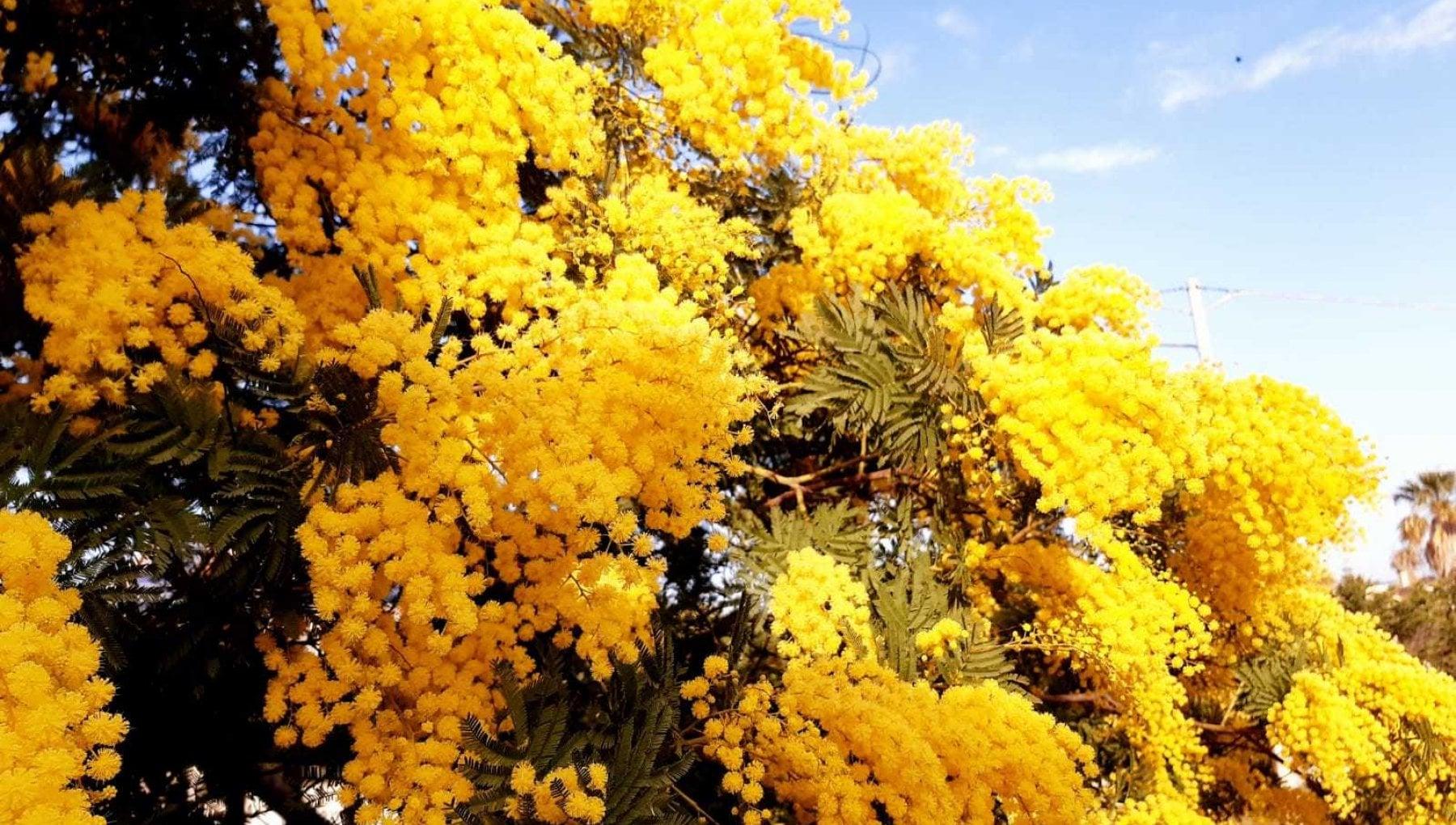 Caldo record in Sicilia sbocciano le mimose con due mesi di anticipo