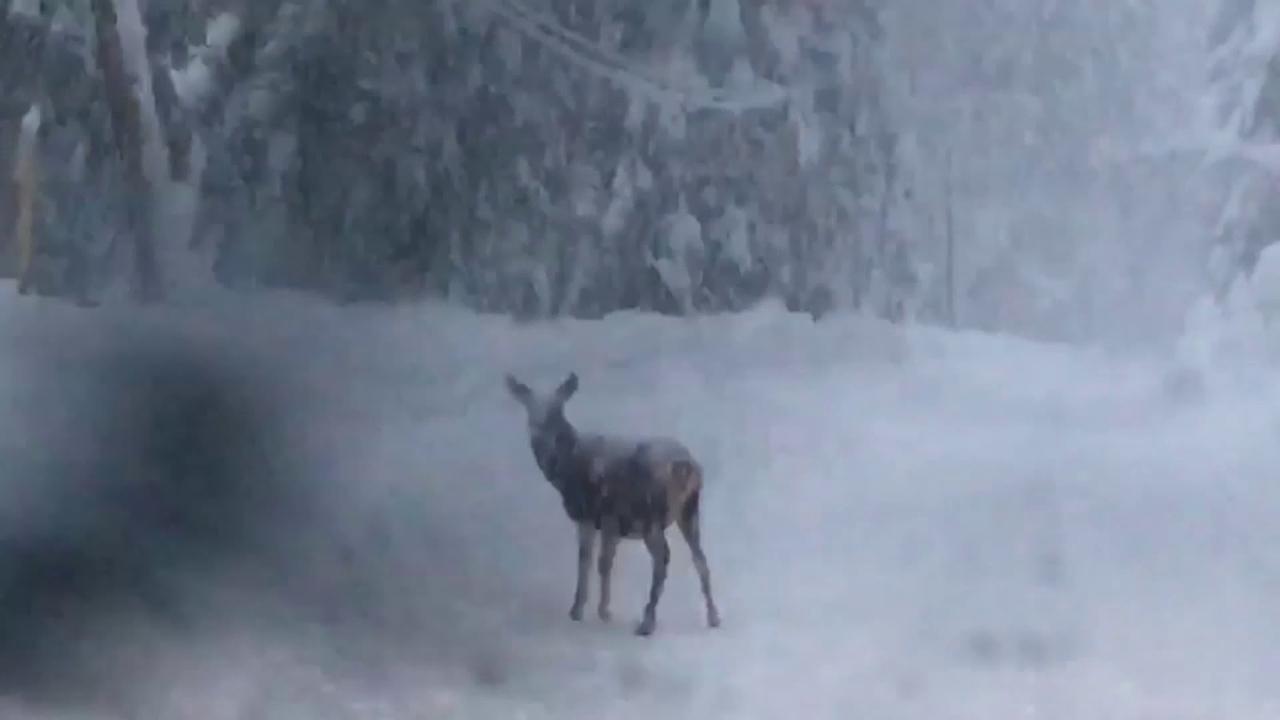 Ce tanta neve sulla strada di montagna il cervo scorta gli automobilisti