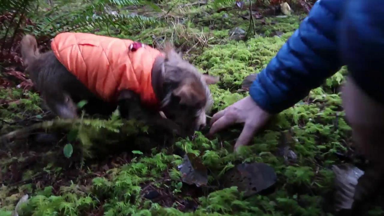 Il Chihuahua con la dote nascosta Gustave va a caccia di tartufi nei boschi