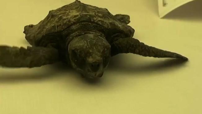 La baby tartaruga marina salvata dal Pronto soccorso di Zoomarine